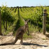 viñedo australia