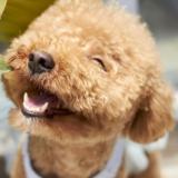 Perro-de-raza-Poodle