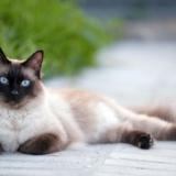 gato-siames-caracter-historia